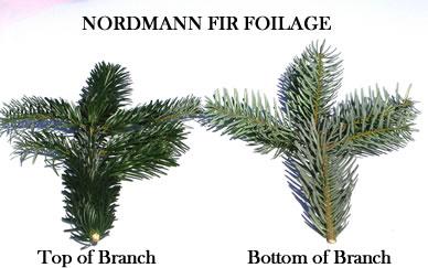 Nordman Fir Christmas Trees - Silver Bells Christmas Tree Farm